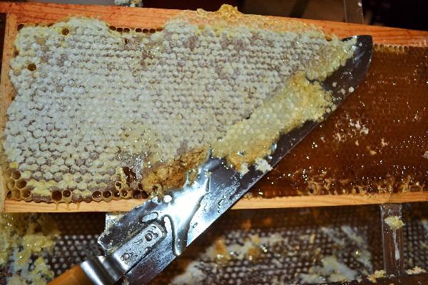 Désoperculation d'un cadre de miel. Instant unique où les parfums des nectars transformés en miel se révèle.